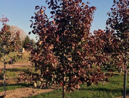 Autumn Blaze Pear (Pyrus calleryana)