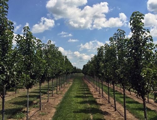 Cleveland Select Pear (Pyrus calleryana)