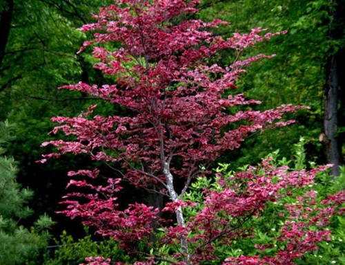 Tri-color Beech (Fagus sylvatica)