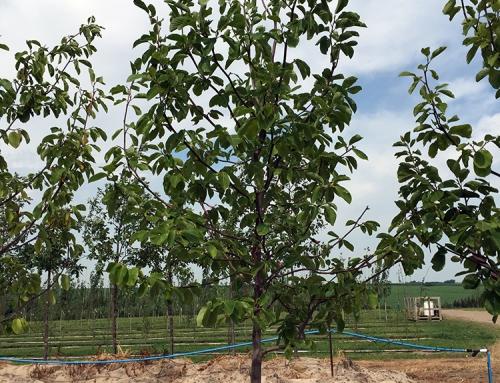 Ann Magnolia (Magnolia x Ann)