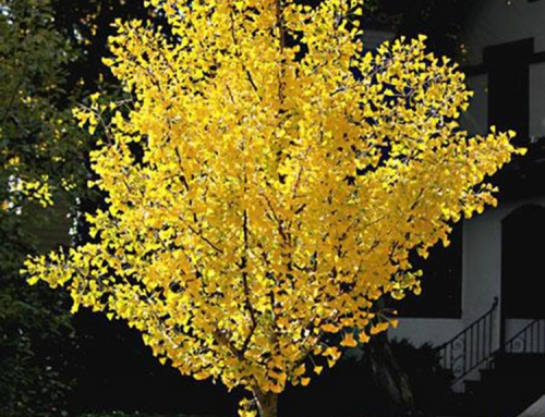Autumn Gold Gingko (Gingko biloba)