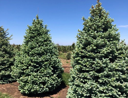 Baby Blue Spruce (Picea pungens 'glauca')