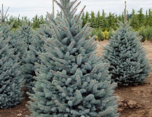 Bacheri Spruce (Picea pungens)