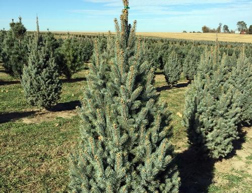 Columnar Blue Spruce (Picea pungens 'fastigiata')