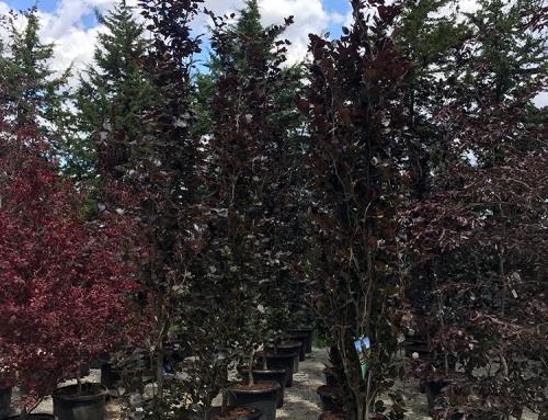 Dawyck Purple Beech (Fagus sylvatica)