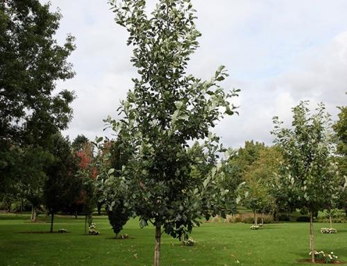 Heritage Oak (Quercus macrocarpa x robur)