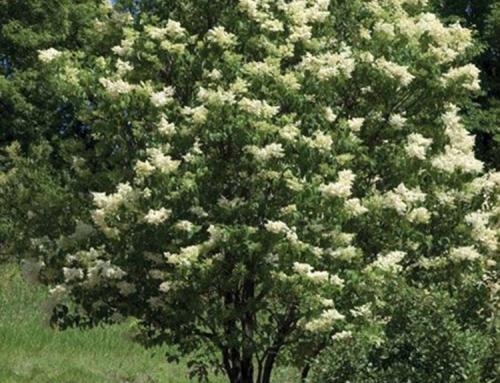 Ivory Silk Lilac multi-stem (Syringa reticulata)