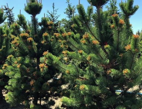 Oregon Green Austrian Pine (Pinus nigra)