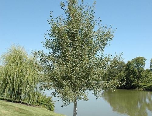 Praire Gold Aspen (Populus – tremuloides)