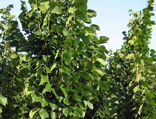 Redmond Linden (Tilia – americana)