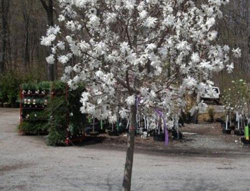 Royal Star Magnolia (Magnolia x Royal Star)