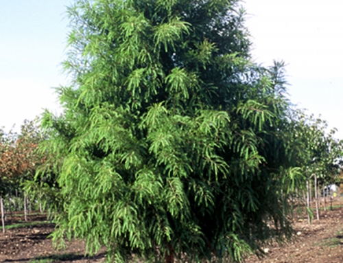 Shawnee Brave Bald Cypress (Taxodium – distichum)