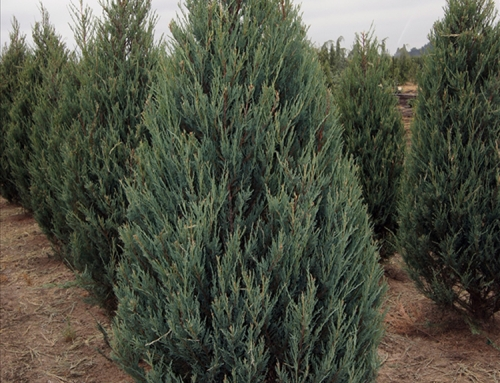Skyrocket Juniper (Juniperus scopulorum)