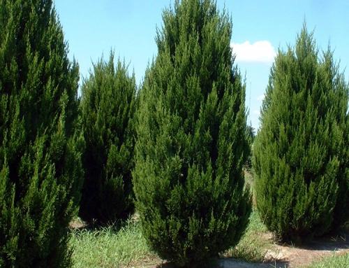 Spartan Juniper (Juniperus chinensis 'Spartan')