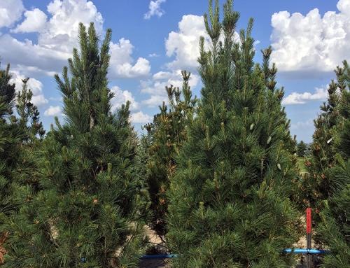 Stowe's Pillar (Pinus Strobus)