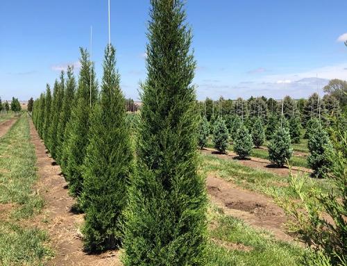 Taylor Juniper (Juniperus virginiana)