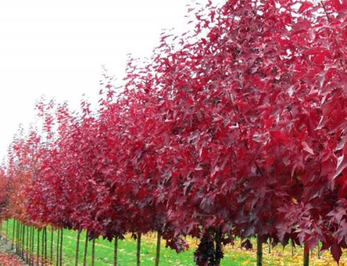 Urban Sunset Maple (Acer truncatum)