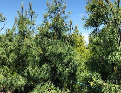 Weeping White Pine (Pinus Strobus 'pendula')