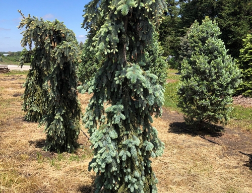 The Blues Weeping Spruce (Picea pungens)